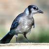 Juvenile Blue Jay