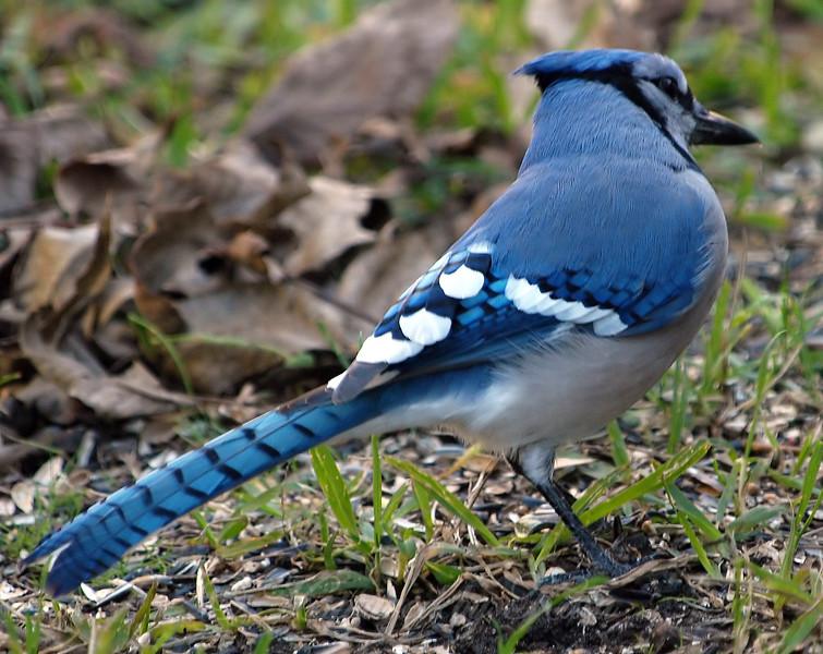 One Legged Blue Jay