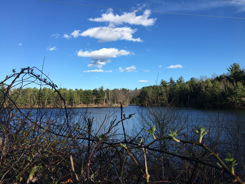 New growth appeared on bushes along Mill Pond Reservoir. Photo by Mary Leach