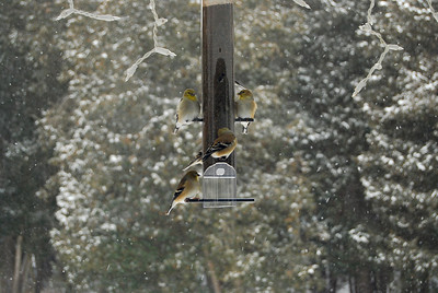American Goldfinch - December 2009
