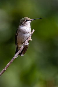 Hummers-5932