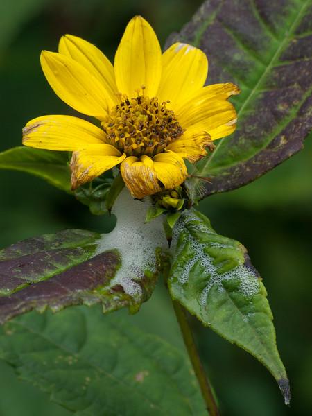 Spittlebug and Flower