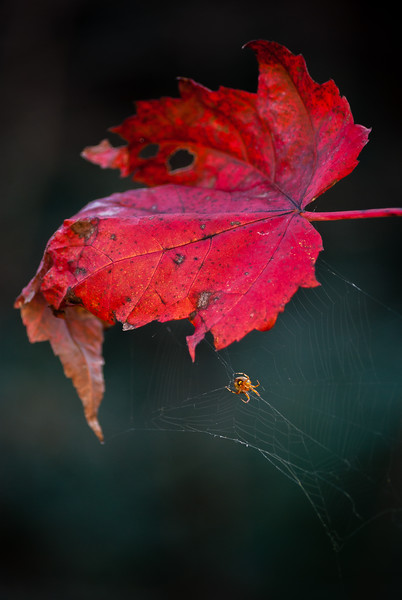 Red Leaf and Spider
