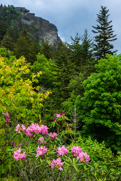 Rhododendron at Devil's Courthouse