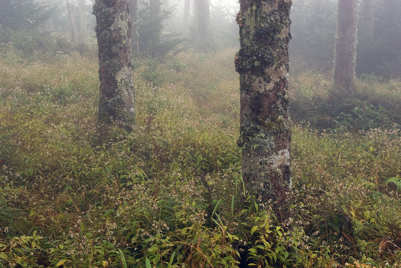 Trees and Mist at Clingmans Dome