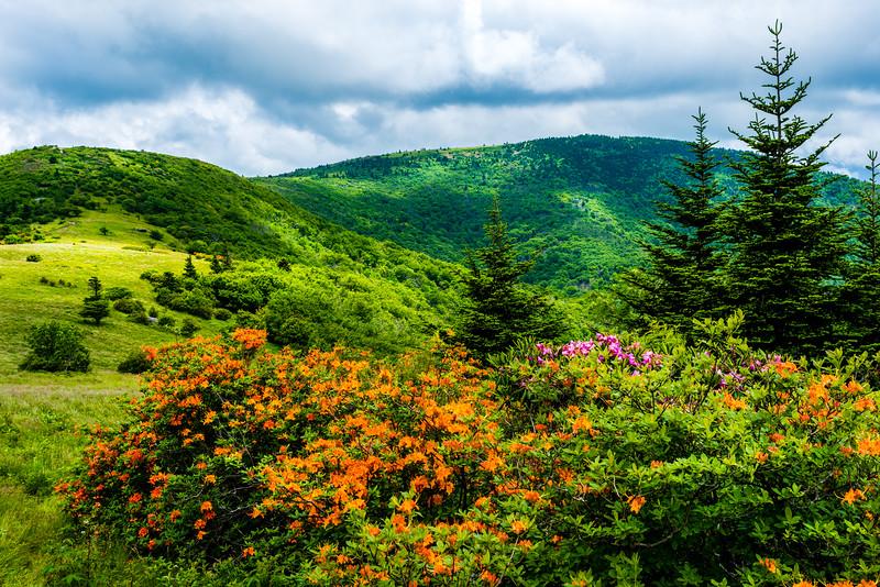 Roan Mountain Blooms
