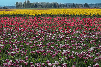 A Perfect Skagit Tulip Day