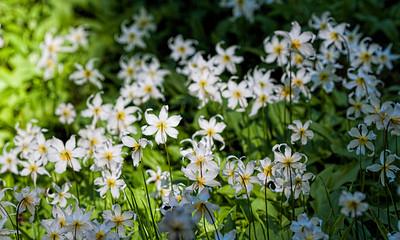A Chorus of Avalanche Lillies