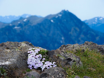 Mountain Phlox Views