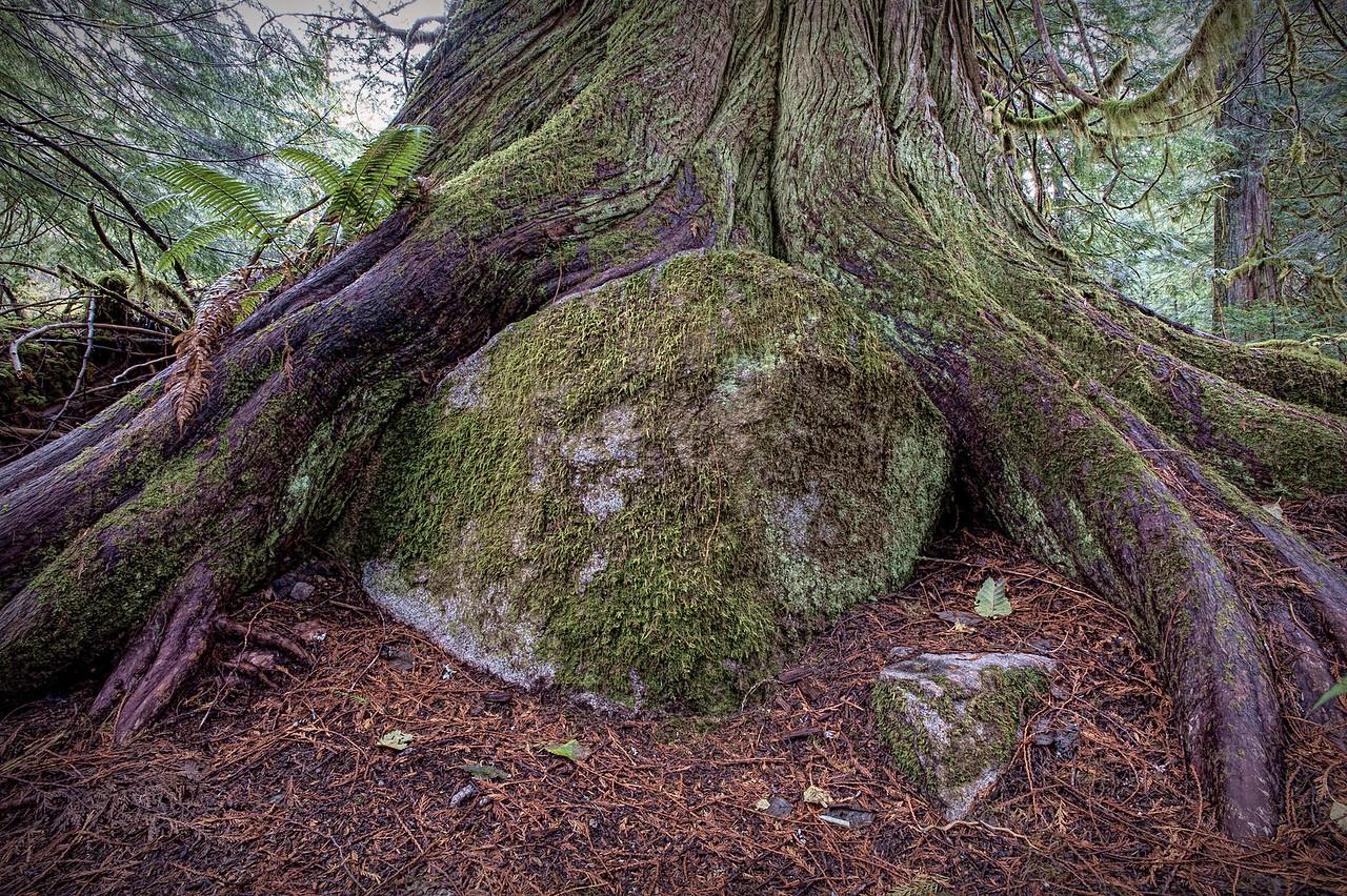Cedar Tree Egg