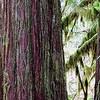 Portrait of a Western Red Cedar