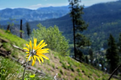 The Balsamroot Speaks