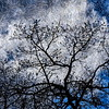 Hood River Tree