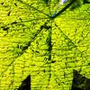 Glowing Bright Devil's Club Leaf