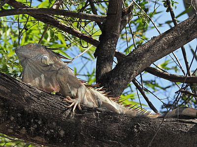 Now this is a Costa Rican Iguana!
