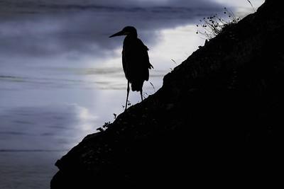 Moody Heron