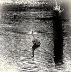 Still and Quiet - Blue Heron