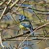 Blue Tit, (Cyanistes caeruleus)