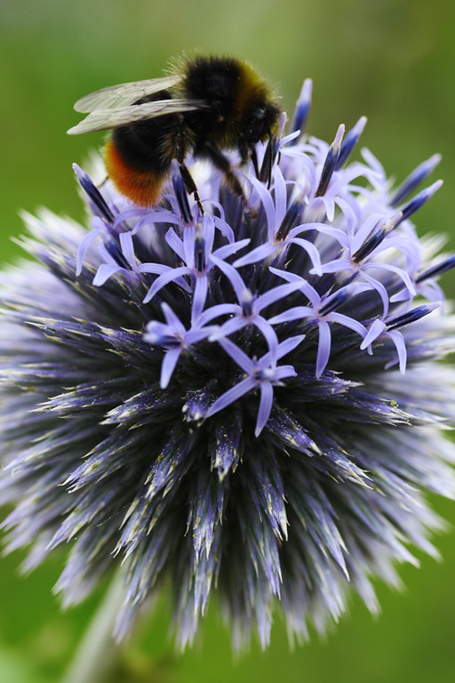 Echinops and Bee 2