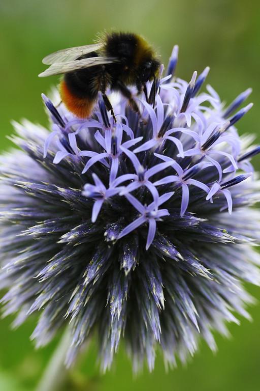 Echinops and Bee 2