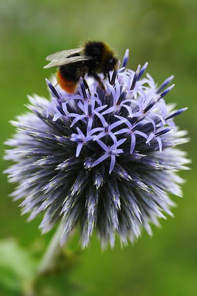 Echinops and Bee 3