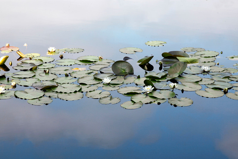 Waterlilies 3