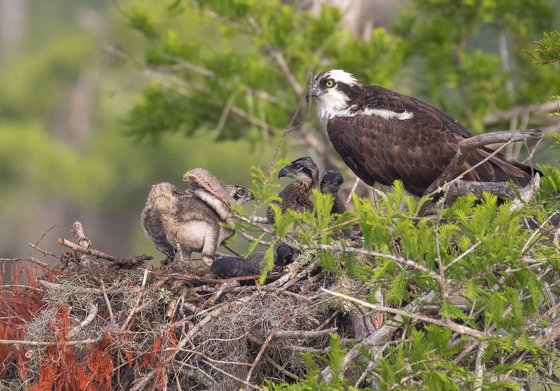 Osprey, Pandion haliaetus