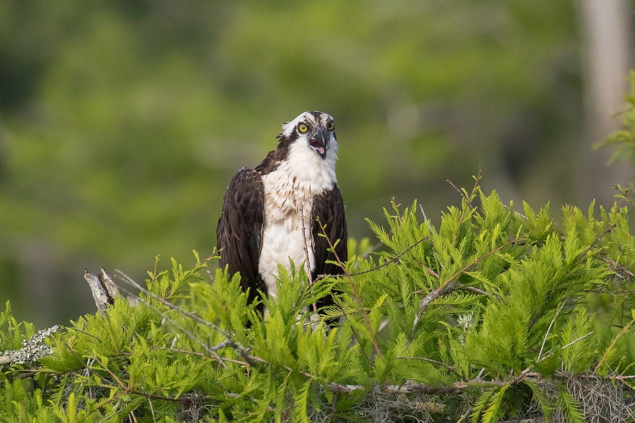 Osprey, Pandion haliaetus