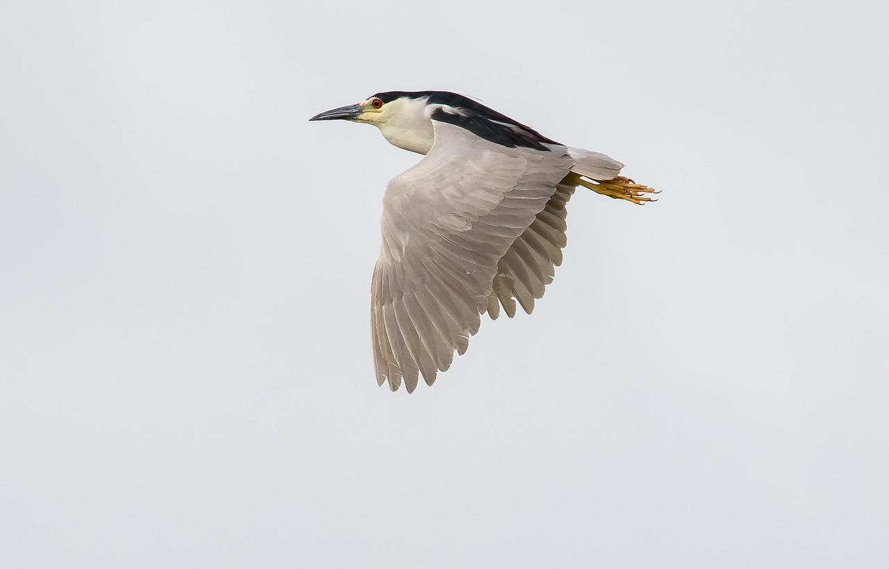 Black-crowned night heron, Nycticorax nycticorax