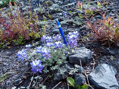 Fabaceae - Lupinus lepidus var. lobbii - Dwarf Lupine