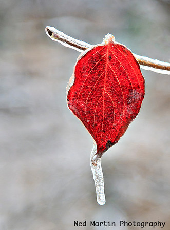 Leaf after October icestorm at Wintergreen Resort