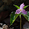 Trillium at Wintergreen