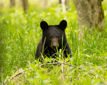 Mother Bear in Cades Cove