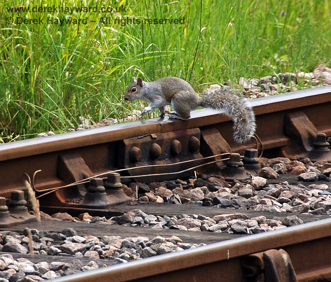 A squirrel checks that PWay have oiled the fishplates at Kingscote. 28.06.2009