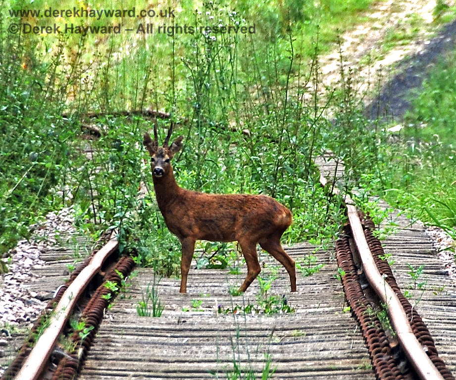 Deer help with clearing weeds on the track near Imberhorne Lane Bridge. 28.06.2009