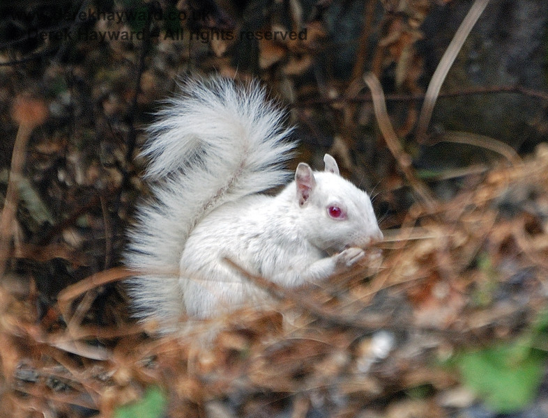 A shy true albino squirrel (with pink eyes) near Horsted Keynes Station. 24.07.2010