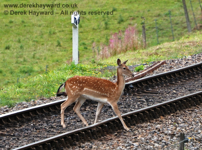 """Crossing the track at Mill Place cutting.  Deer seem to regard the gradient post as a """"Deer Crossing"""". 15.08.2010"""