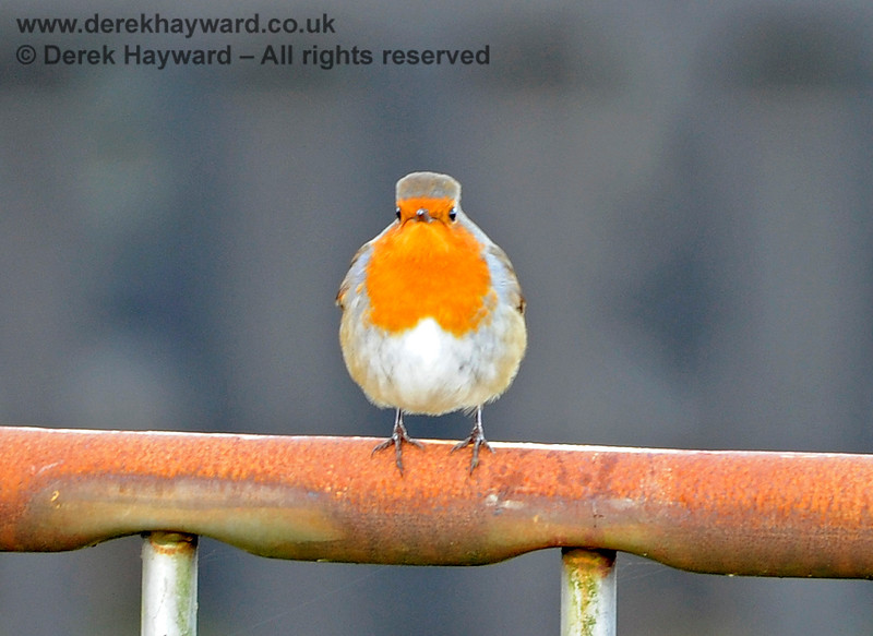 A robin finds a rather rusty section of fence at Kingscote.  13.12.2014 10213