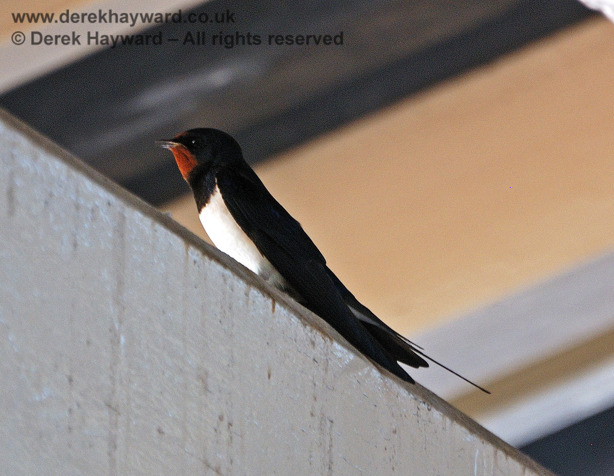 A swallow under the canopy at Kingscote. 23.05.2010