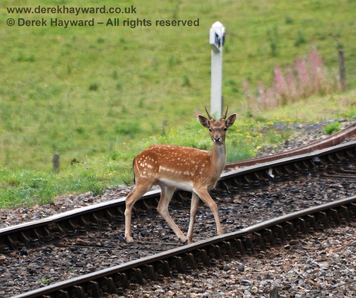 A deer ambles across the line near Kingscote. 15.08.2010