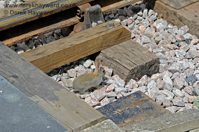A baby rabbit thought that the foot crossing at Horsted Keynes was an ideal place to hide. 27.05.2017 15431