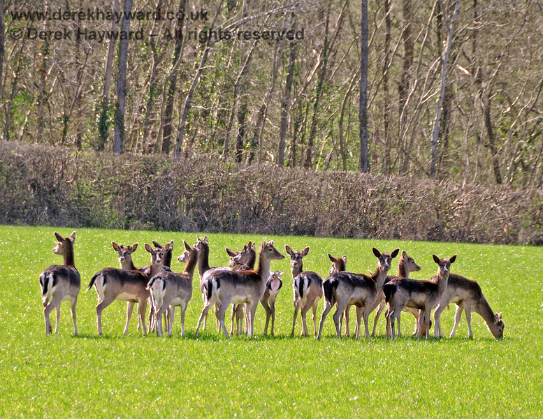 The deer pose at Kingscote. 17.04.2010