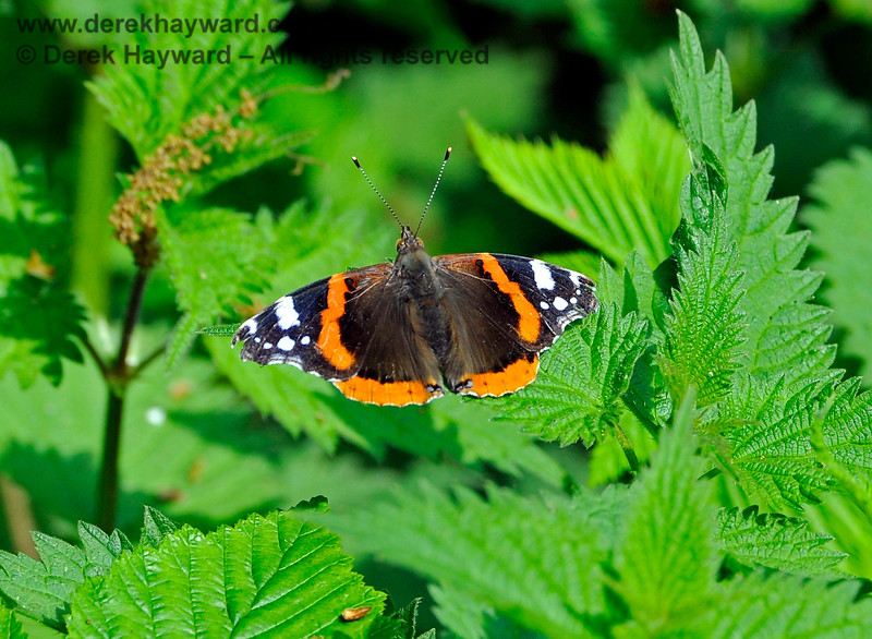 A Red Admiral butterfly at Ketches Halt. 06.05.2017 15080