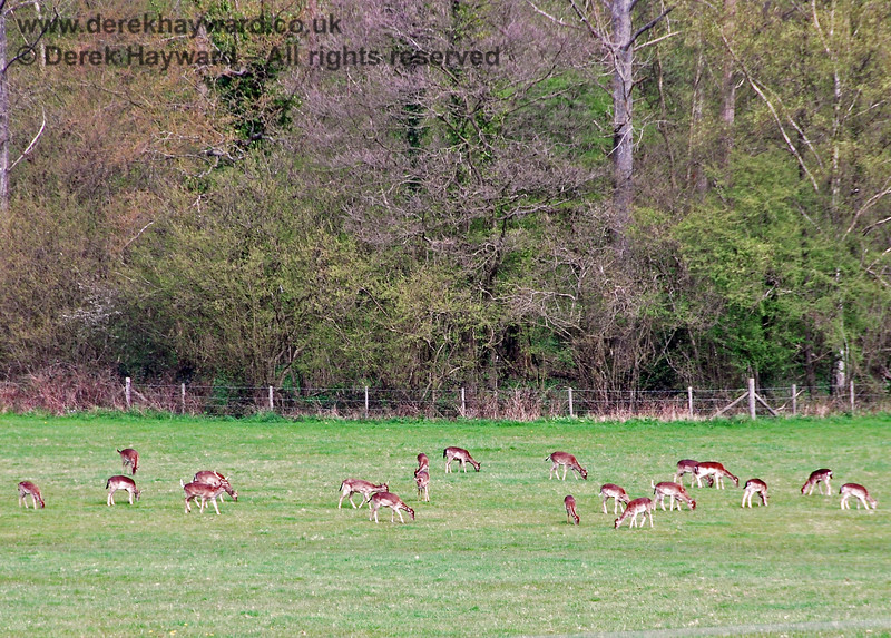 The largest herd of deer I have ever seen in the open in daylight near the railway. Kingscote 26.04.2008