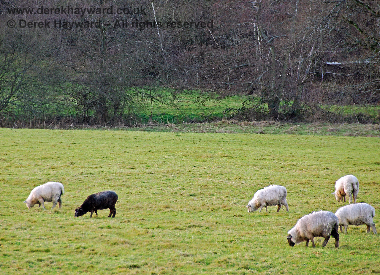 There is a black sheep in every family. Horsted Keynes 12.01.2008