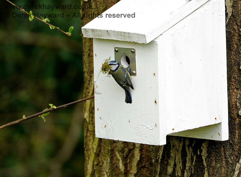 Blue Tits building a nest at Kingcote.  Arrive with a beak full of moss and have a good look around... 19.04.2015 10835