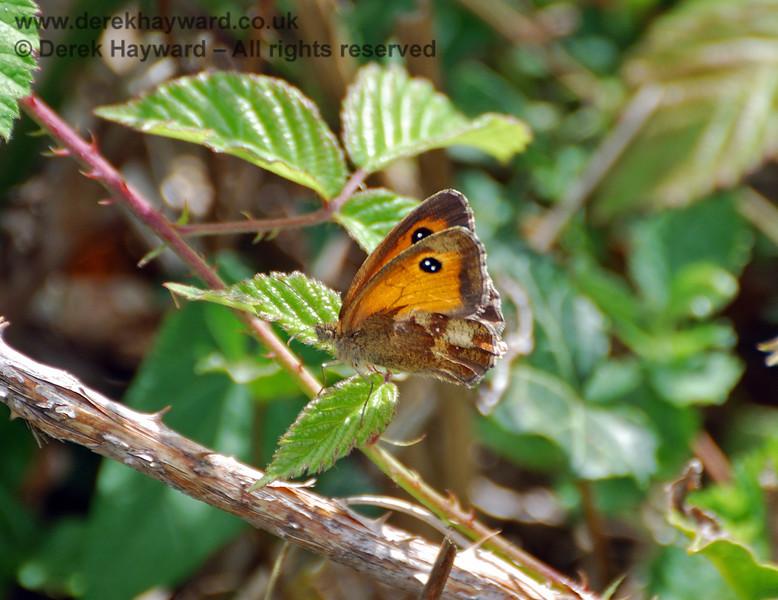 A butterfly on the lineside outside Sheffield Park. 25.07.2010