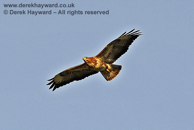 A buzzard above Ketches Halt. 20.12.2013 8581