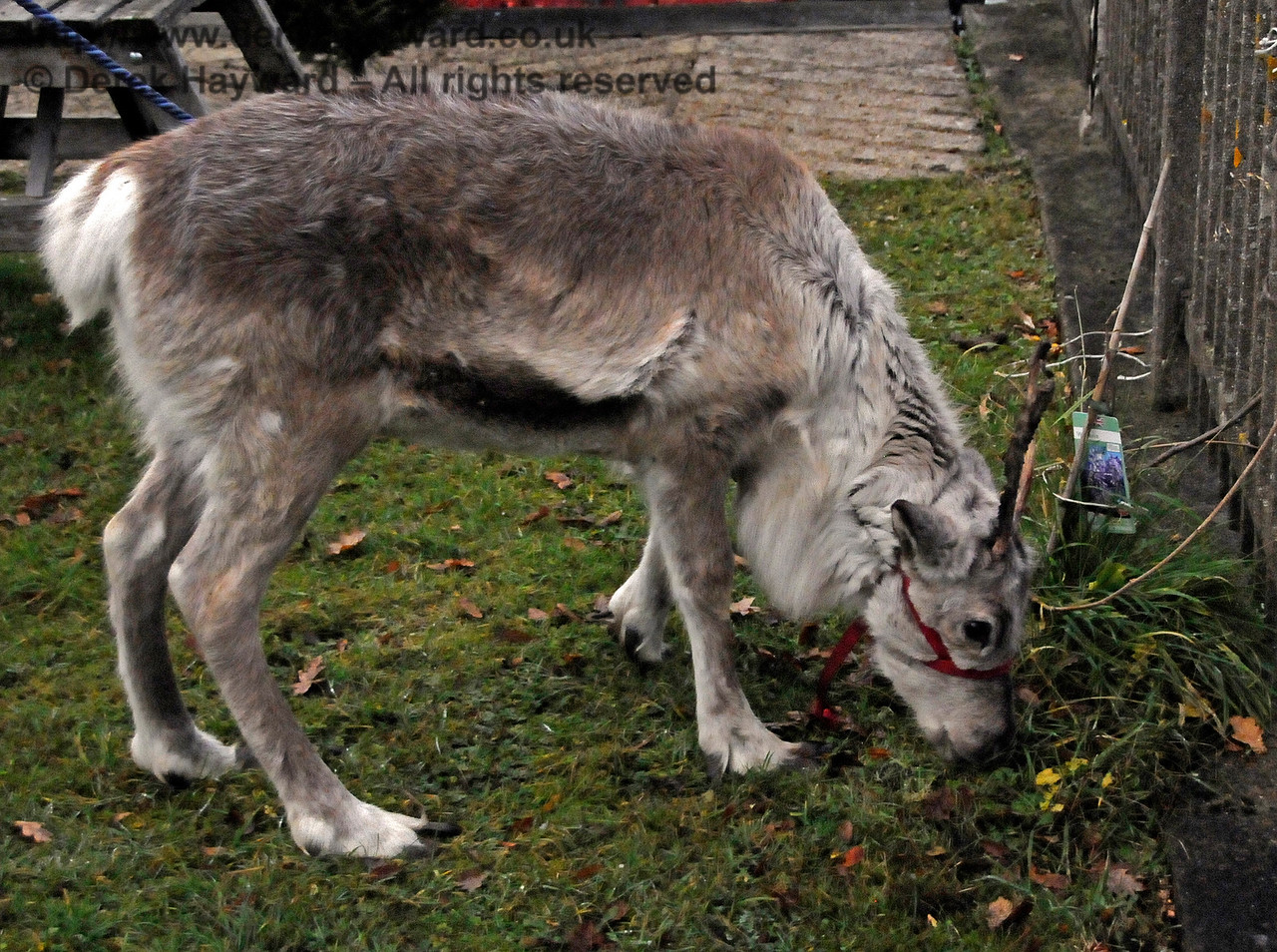 The Friends of Kingscote lavish hours of care and attention on their plants so.... under no circumstances mention a stray baby reindeer to them (cough).   11.12.2016 16793