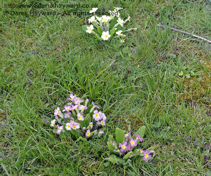 Just in time for the Spring Specials the primroses are appearing at West Hoathly (and indeed along the whole line).  15.04.2012  4406